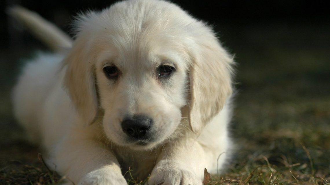 Sopiiko koira minulle lemmikiksi?
