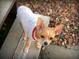 4 ennakkoluuloa pienistä koirista – totta vai tarua?